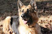 German Shepherd in the Fall