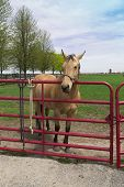 image of headstrong  - young buff horse in a fenced pen - JPG