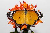 Plain Tiger Hanging On Ixora Flower