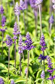 stock photo of blue-salvia  - Blue Salvia is plant in the mint family - JPG
