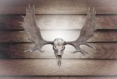 picture of bestiality  - Closeup skull moose on wooden wall texture of the seamless wood - JPG