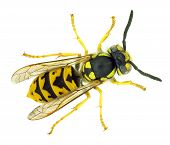 stock photo of wasp sting  - European wasp Vespula germanica - JPG