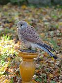 Kestrel Falco