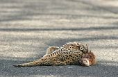 image of life after death  - dead female pheasant lying in the road after being knocked down by a car - JPG