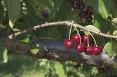 Sweet Bing Cherries On Tree