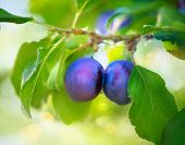 Ripe Plums on branch. Growing Plum in orchard. Organic fruits