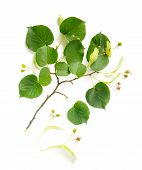 stock photo of lime-blossom  - A Tilia  - JPG