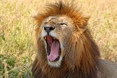 stock photo of leo  - Portrait of a male lion  - JPG
