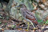 Juvenile Night Heron, Dimakya Island Philippines