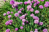 stock photo of eatables  - Chives in bloom with purple flowers in a herb garden in the summer - JPG