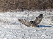 picture of snow owl  - Northern Hawk Owl in flight - JPG