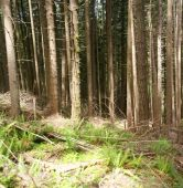 Panorama - Douglas Fir In Forest