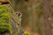 Eurasian Eagle Owl Behind Rock