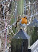 image of robin bird  - The European Robin  - JPG