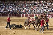 Drag mules are Bull died in the Bullfight to the slaughterhouse of the bullring of Ubeda