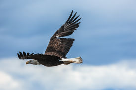 picture of fish-eagle  - American Bald Eagle at Anchor Point - JPG