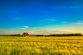 Wheat Field With A Farmhouse