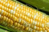 picture of corn-silk  - Fresh corn on a cob with husk and silk - JPG