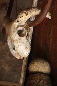 ram's skull still life