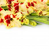 foto of gladiolus  - Beautiful fresh red and yellow gladiolus isolated  - JPG