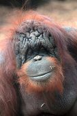 Face Of Bornean Orangutan