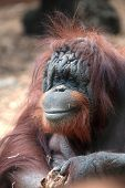 Portrait Of Bornean Orangutan