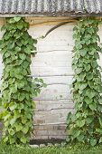 stock photo of creeper  - Green creeper plant climbing a ladder - JPG