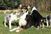 picture of bitches  - Bitch of Collie Smooth with its puppies lying in nice garden