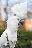 Sulphur-crested Cockatoo Parrot  Looking At You