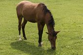 stock photo of horses eating  - brown horse eating grass in the field close up - JPG