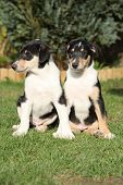 Gorgeous Puppies Of Collie Smooth In The Garden