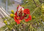 Delonix regia blossom