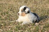 Nice Puppy Of Australian Shepherd Dog In Early Spring Grass