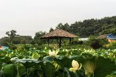 image of wooden shack  - White lotus flower pond with a wooden shack - JPG