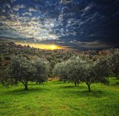 pic of olive trees  - group of olive tree in green field and wood background