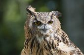 Closeup Of European Eagle Owl