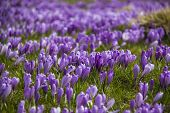 foto of velika  - Beautiful spring crocuses on Velika Planina plateau in Slovenia - JPG