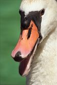 Portrait Of Swan