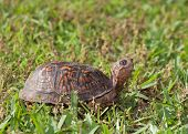 stock photo of turtle shell  - Turtle that has its head out of the shell looking at something - JPG