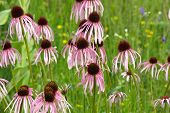 Purple Cone Flowers growing wild at Chain O Lakes State Park in Illinois