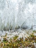 Birch trees covered with frost