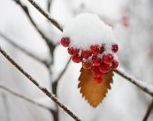 pic of rowan berry  - Red Rowan Berries Covered With Fresh Snow - JPG