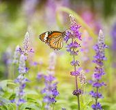 Monarch Butterfly On Flower In Garden On Morning