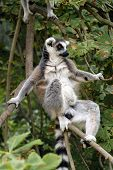 Ring-tailed lemur (Lemur catta).