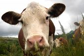 foto of hereford  - Close up of very curious Hereford cows - JPG