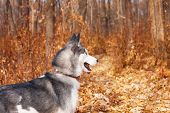 Husky Walks In Autumn Park