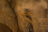 The close-up portrait of a sri lankan elephant. The face is full of soil from the dry desert winds.
