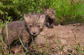 Red Fox Kits (vulpes Vulpes) Stand At Densite