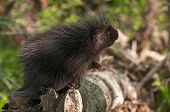 Porcupette (erethizon Dorsatum) Looks Up