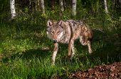 Grey Wolf (canis Lupus) Trots Around Corner